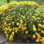 Fall Glory….Mums!