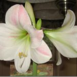 An Old Amaryllis Blooms Again