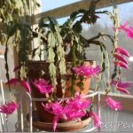 Christmas Cacti in Bloom