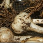 Garlic–It's Time to Harvest!