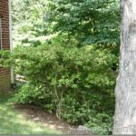 Renovating Mature Azaleas