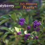Beautyberry and Other Fall Blooms
