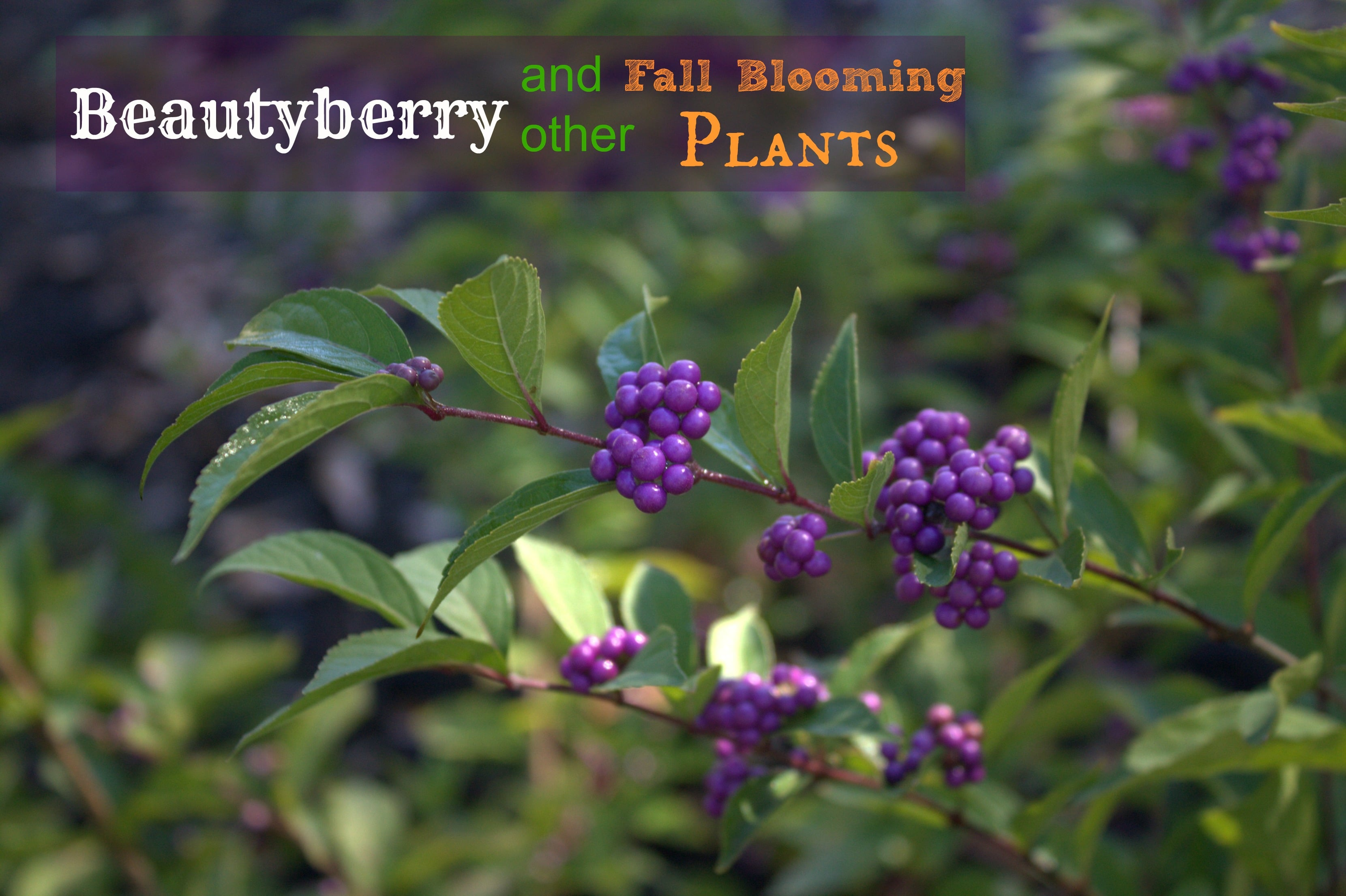 Beautyberry And Other Fall Blooms Sweet Pea