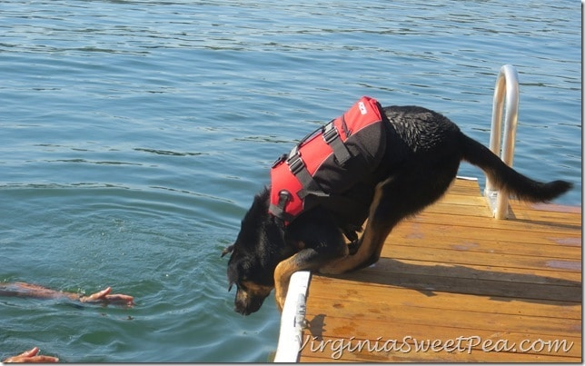 Sherman Swims with his Life Jacket