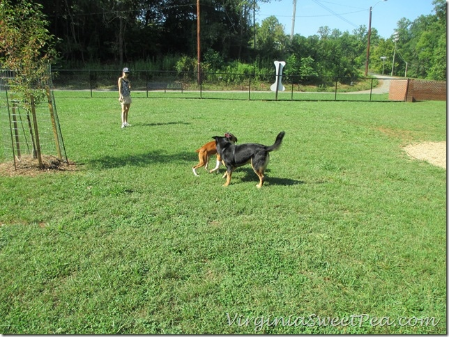 Lynchburg Dog Park - Sherman Plays with Rose