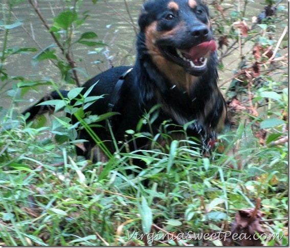 Sherman Runs up the Blackwater Creek Bank