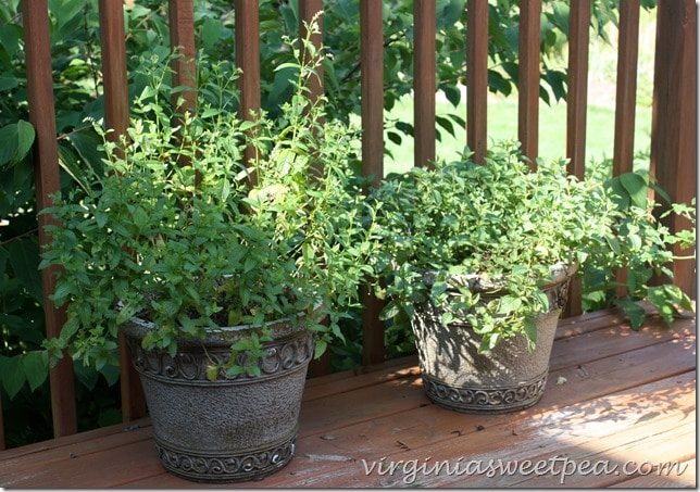Mint growing on my deck
