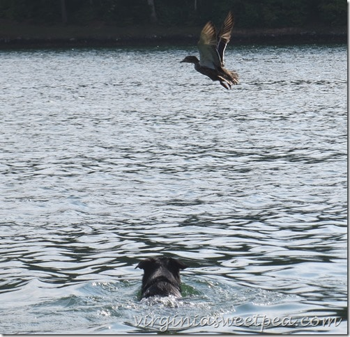 Sherman Skulina Chases a Duck at Smith Mountain Lake