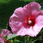 Hibiscus – A Prolific Bloomer