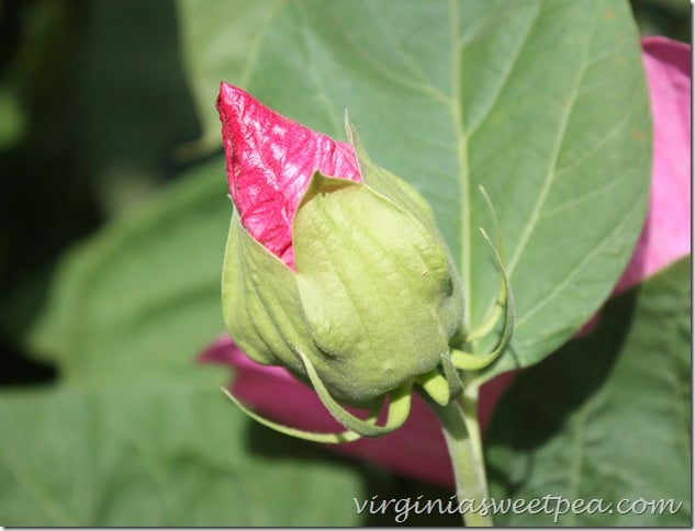 Hibiscus Bud by virginiasweetpea.com