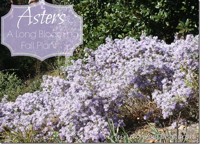 Asters - A Long Blooming Fall Plant