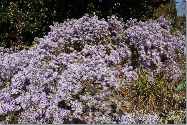 Beautiful Asters