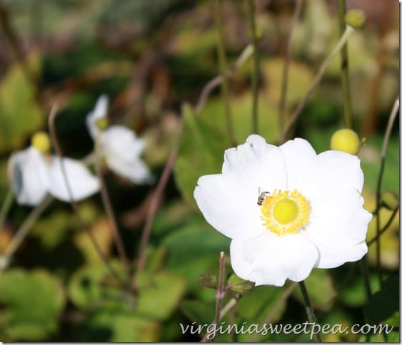 Fall Blooming Anemone