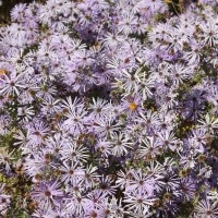 Asters for Fall