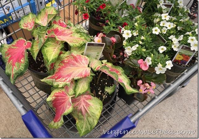 Shopping for Monrovia Plants at Lowe's in Lynchburg, VA