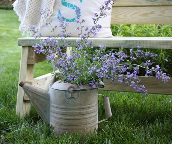 Catmint in a Vintage Watering Can