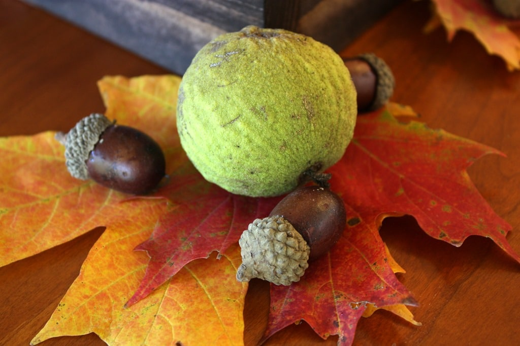 Walnut, two fall leaves, and aconrs