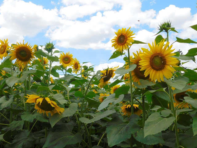 A Visit to a Sunflower Farm
