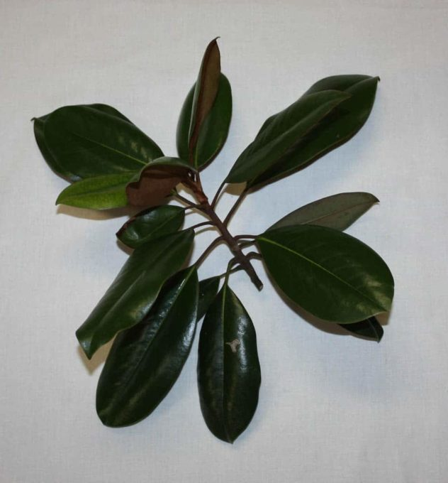 Southern Magnolia in Lynchburg, VA