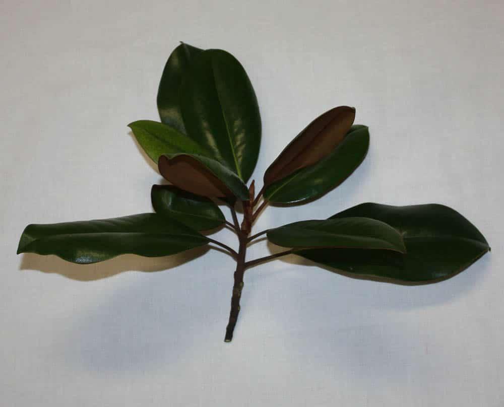 Cut piece of Magnolia