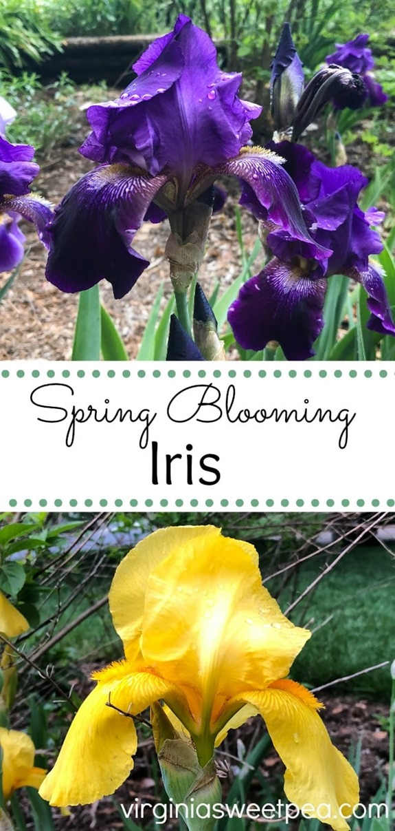 Spring Blooming Iris - See beautiful Iris in bloom in a Virginia garden. #iris #flowers #springflowers