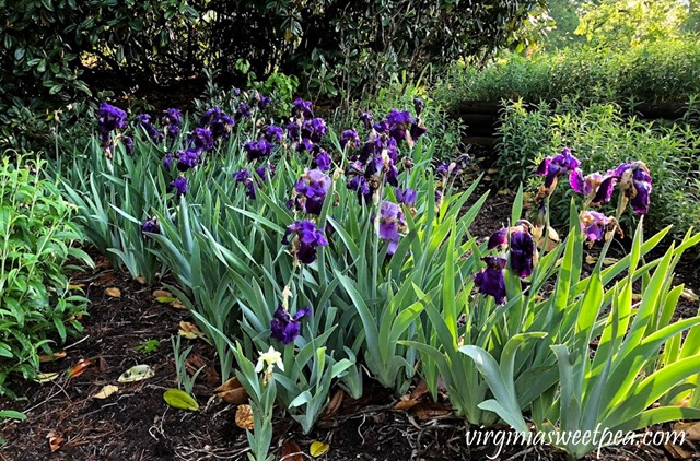 Purple Iris in bloom in a Virginia garden. #Iris #springflowers #flowers