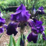 My Iris this Spring