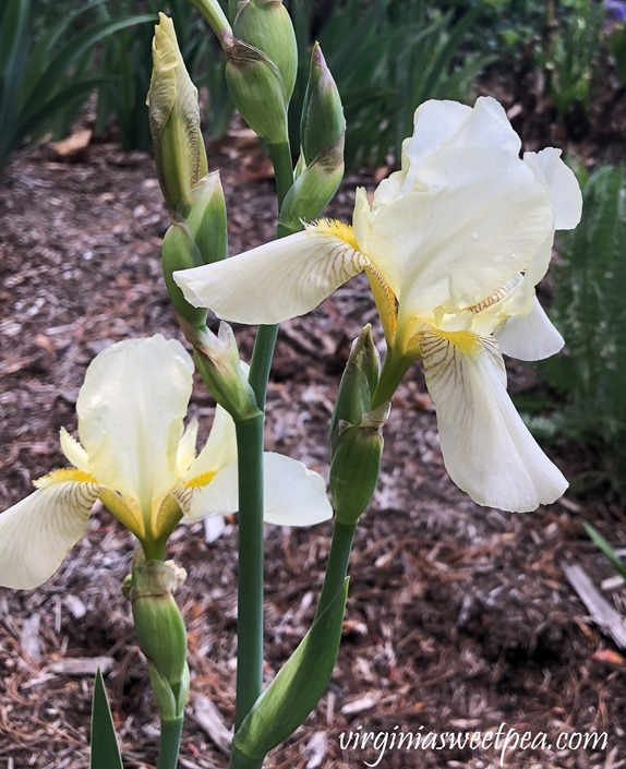 Yellow Iris in bloom in a Virginia garden. #Iris #springflowers #flowers