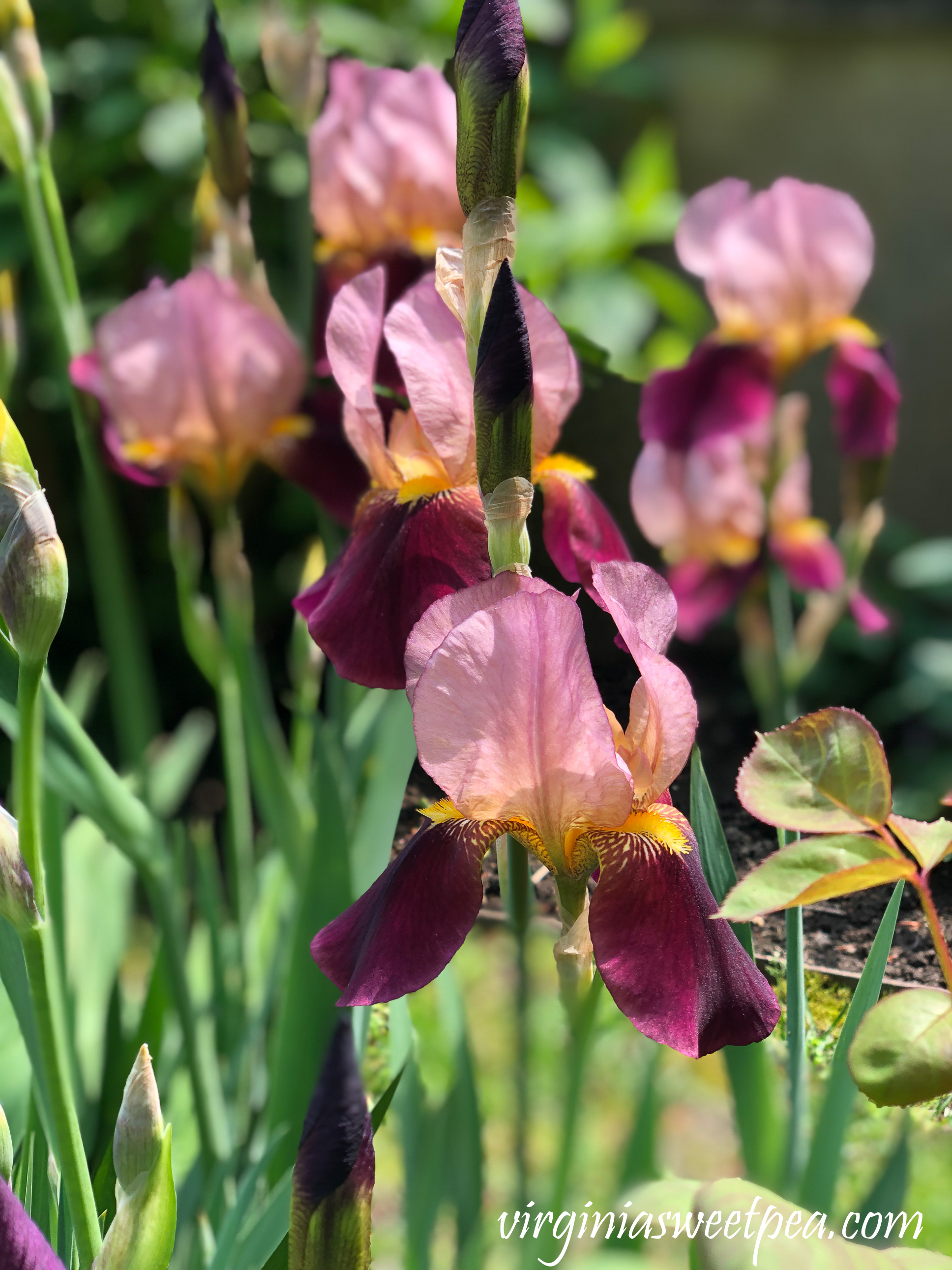 Iris in Newport, RI