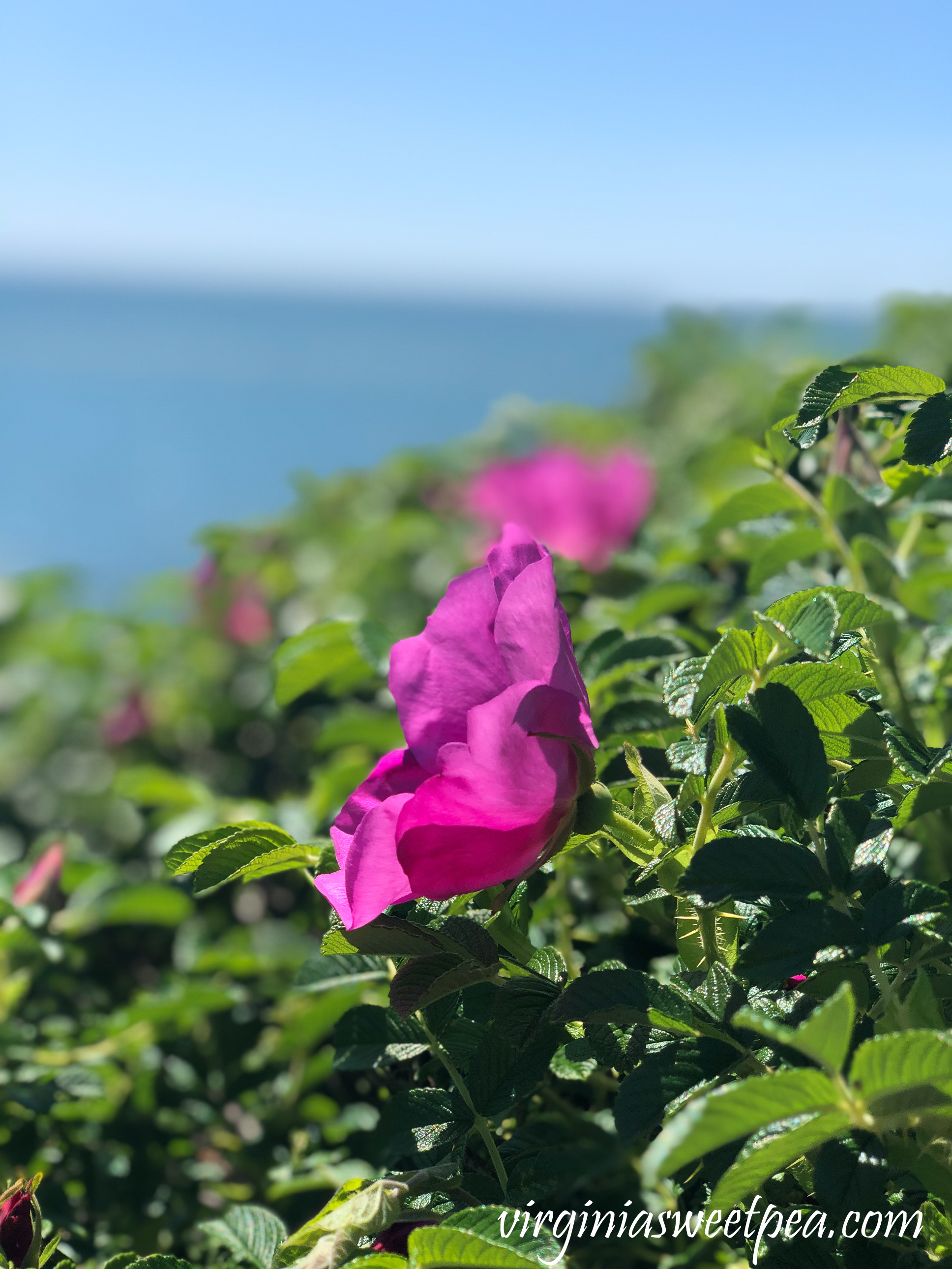 Wild roses blooming on the Cliff Walk in Newport, RI
