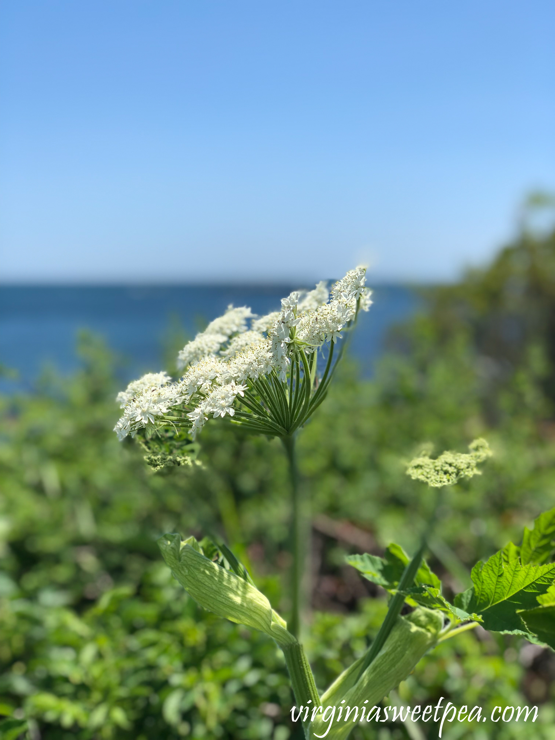 Flowering plant on the Cliff Walk in Newport, RI
