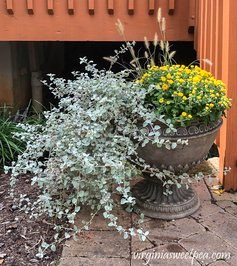 Fall planting in an outdoor contain including fountain grass, mum, and licorice plant.