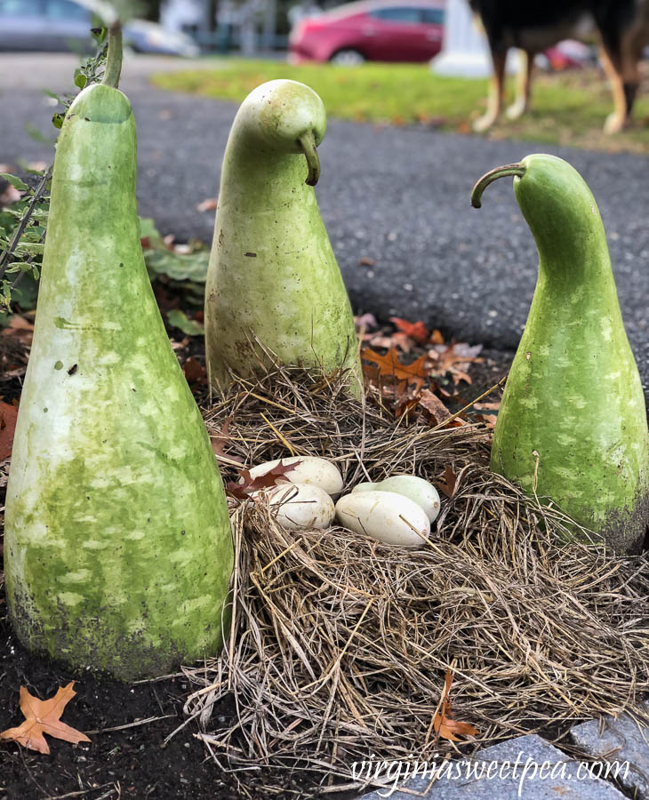 Swan gourds guarding a nest of egg gourds at Woodstock Inn in Vermont