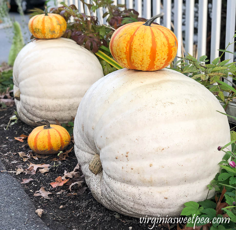 Pumpkins along a fence at Woodstock Inn in Woodstock, Vermont