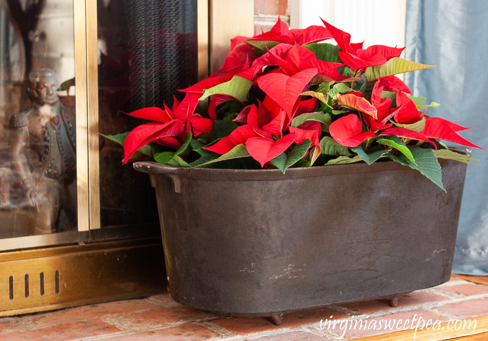 Red Poinsettia in an antique black cast iron cooking pot.