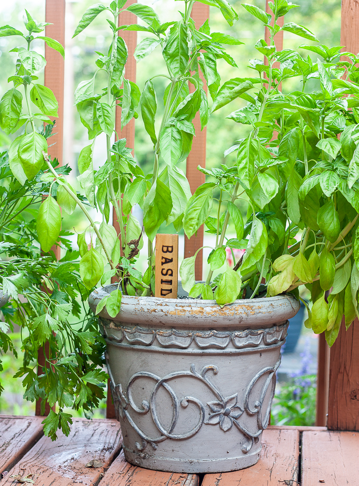 Plant marker labeled basil made by wood burning a shim.