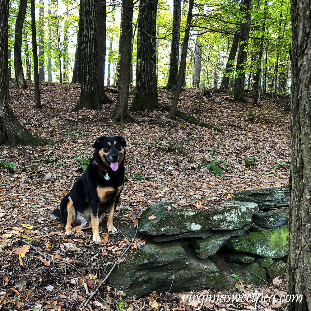 Dog posing by a rock wall in the woods