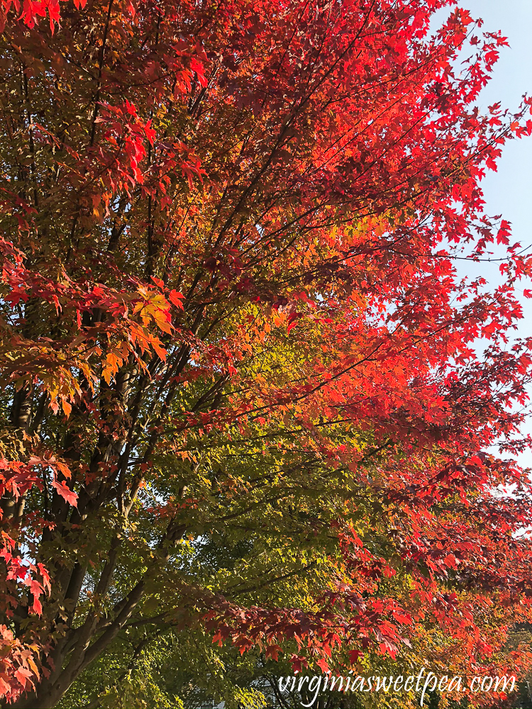 Red maple foliage in Woodstock, VT