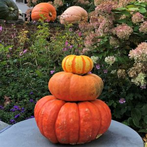 Trio of orange pumpkins with large pumpkins in the background