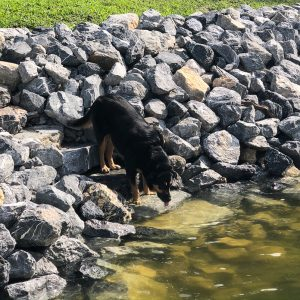 Dog drinking water using stairs built into riprap shoreline at Smith Mountain Lake, VA