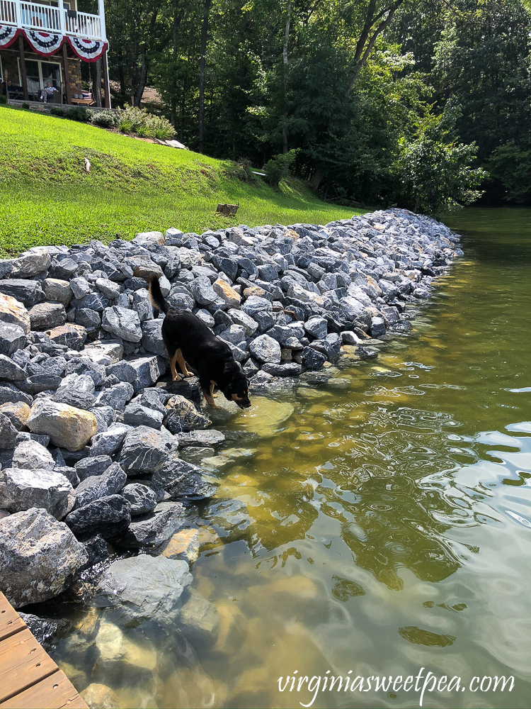 Dog drinking water using steps built into a riprap shoreline at Smith Mountain Lake, VA