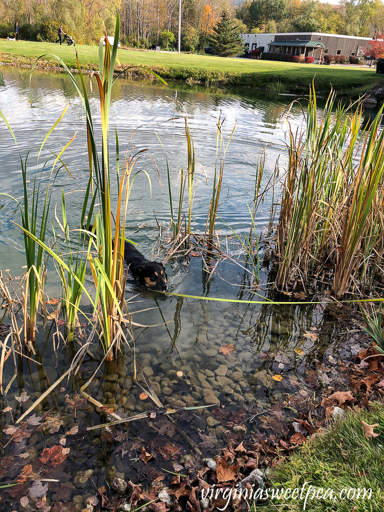 Dog swimming on a leash in a pond