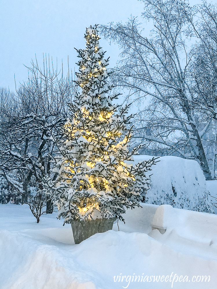 Tree with lights covered in snow at the Woodstock Inn in Woodstock, Vermont December 2020
